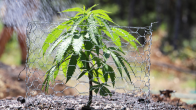 Photo of Top 10 Tips For Growing Cannabis