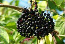 Photo of What Is Elderberry?